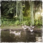 Gänse auf dem Teich
